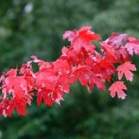 236 Röda löv (224/365)