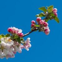 Eget tema 15 - Äppelblom (164/365)